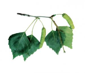 brzoza brodawkowata memo Drzewa. Świat wokół nas