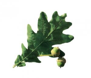 dab-szypulkowy-memory-drzewa-swiat-wokol-nas
