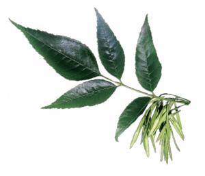 jesion-wyniosly-memo-drzewa-swiat-wokol-nas