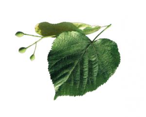 lipa-szerokolistna-memo-drzewa-swiat-wokol-nas