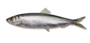 sledz memo Ryby. Świat wokół nas